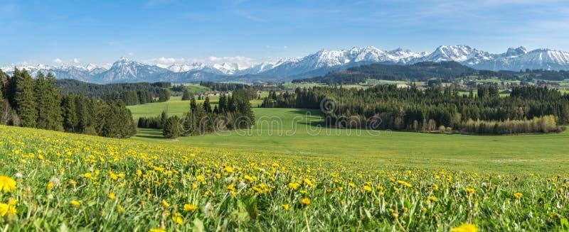 Prado amarillo hermoso de la flor en un paisaje montañoso idílico foto de archivo