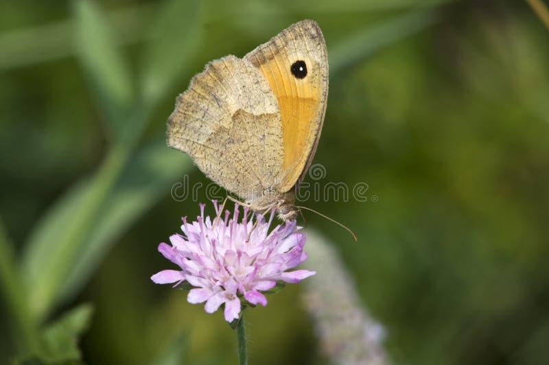 Prado Brown da borboleta (jurtina de Maniola) fotos de stock