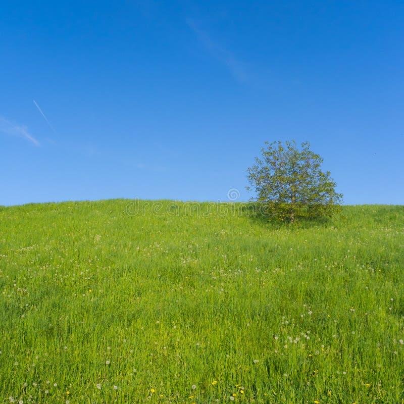 Prado com única árvore fotos de stock royalty free