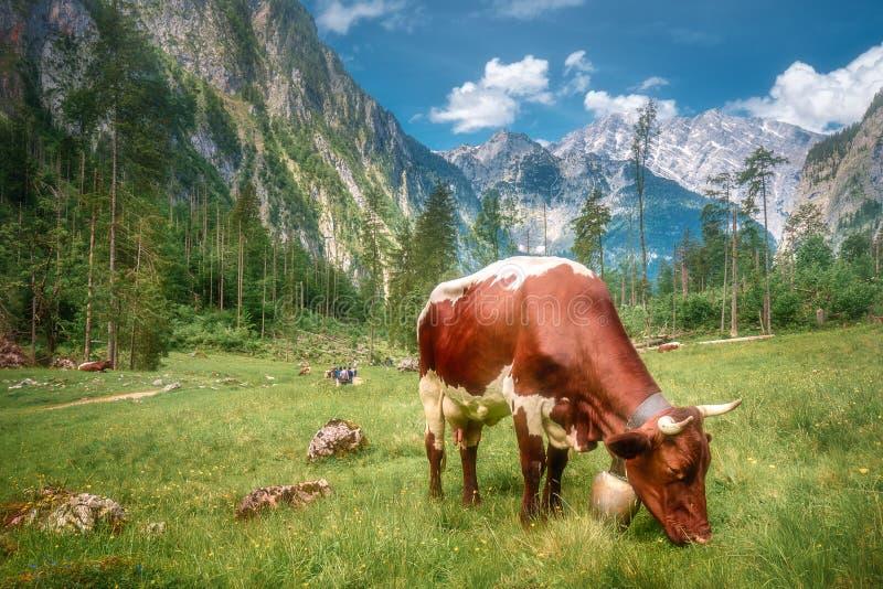 Prado com as vacas no parque nacional de Berchtesgaden imagem de stock royalty free