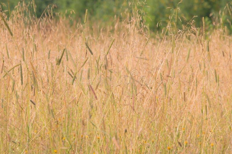 Prado com grama amarela no vento no dia nublado do verão fotos de stock