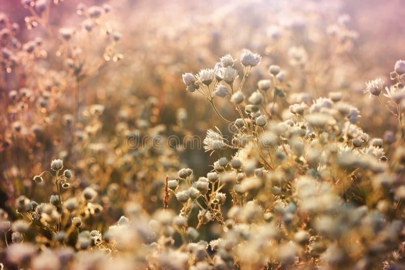 Prado com lotes das flores, flor de florescência bonita da margarida fotografia de stock royalty free