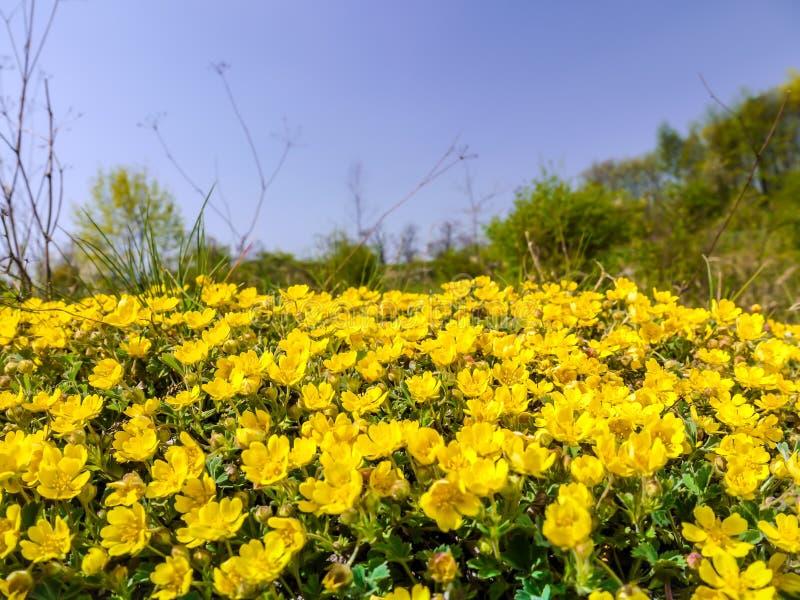Prado com wildflowers amarelos fotografia de stock royalty free