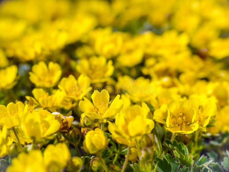 Prado com wildflowers amarelos foto de stock