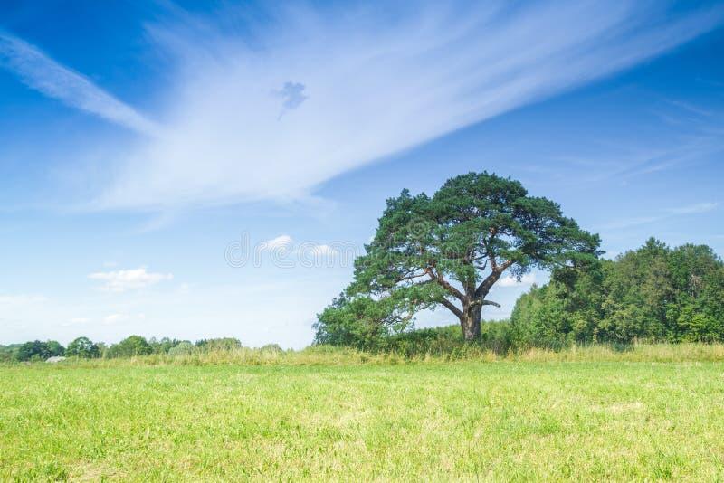 Prado con el árbol de pino en Letonia foto de archivo libre de regalías