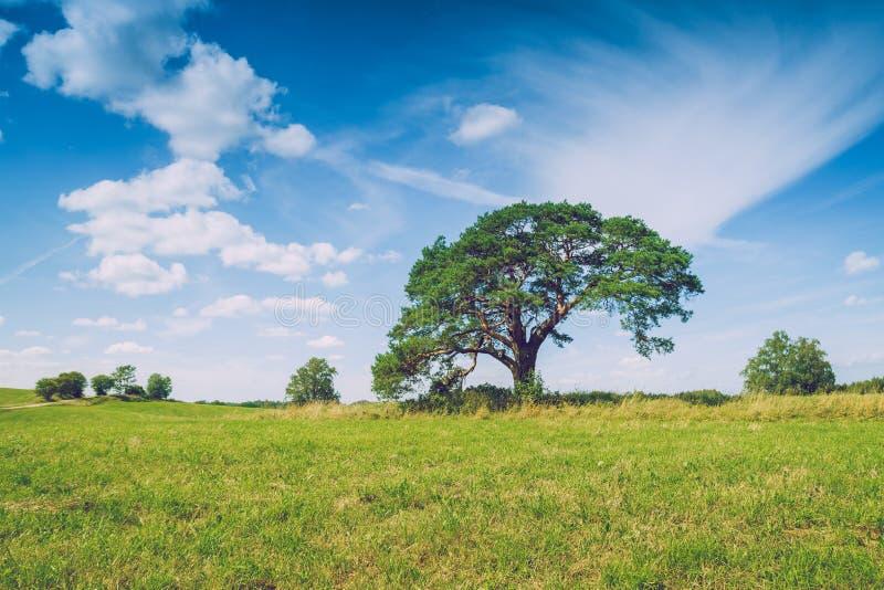 Prado con el árbol de pino en Letonia imagen de archivo libre de regalías