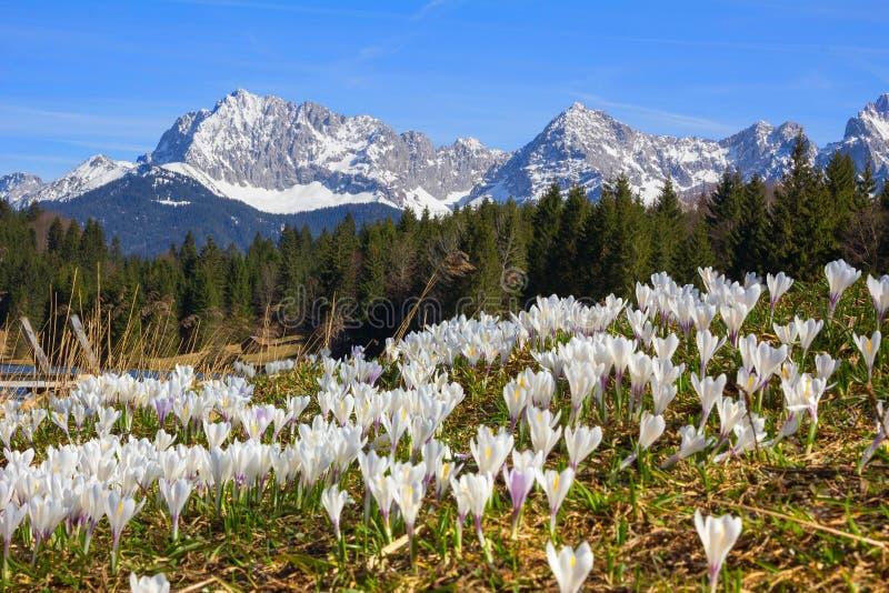 Prado con el azafrán de la primavera, el geroldsee y el mountai tempranos del karwendel imagen de archivo libre de regalías