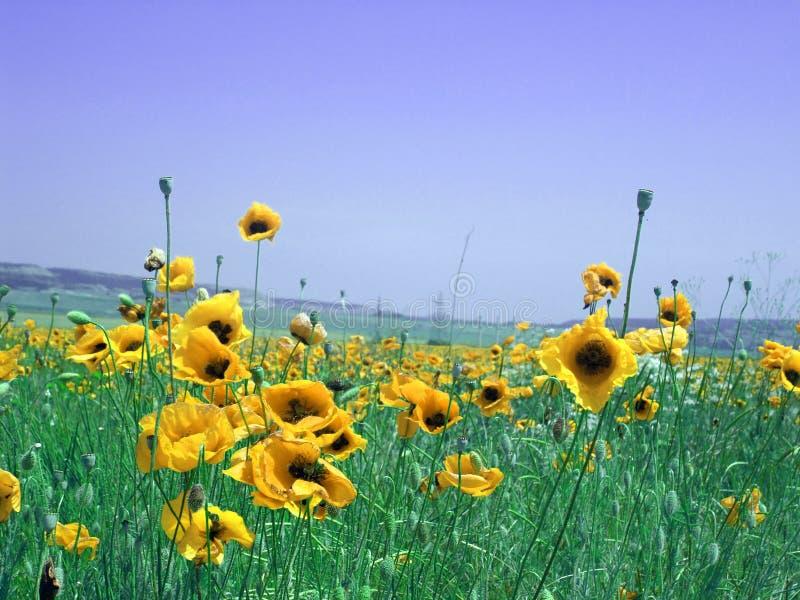 Prado con las flores amarillas fotos de archivo