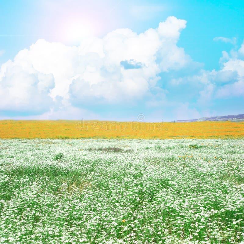 Prado con las flores blancas fotos de archivo libres de regalías