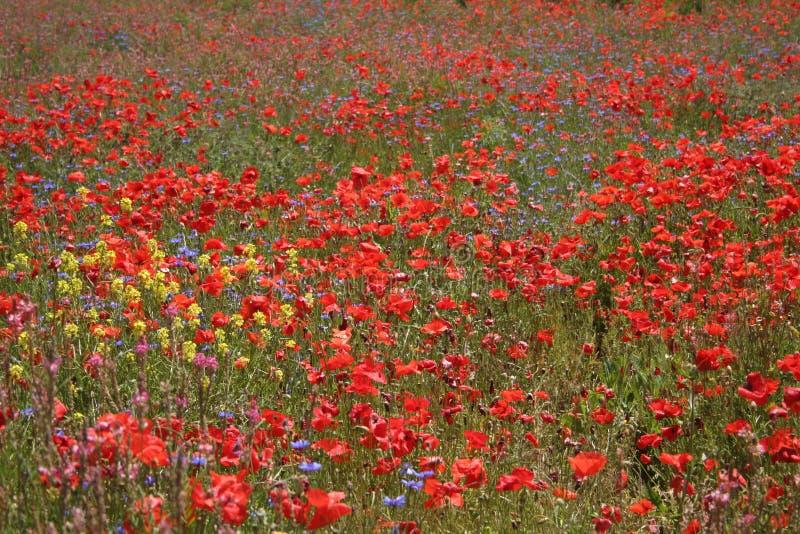 Prado con las flores salvajes fotos de archivo