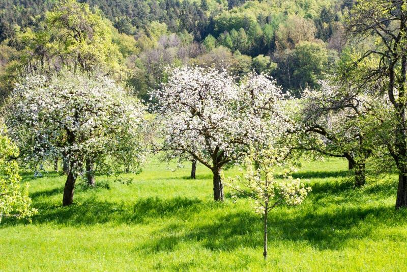 Prado con los árboles frutales florecientes imagen de archivo libre de regalías