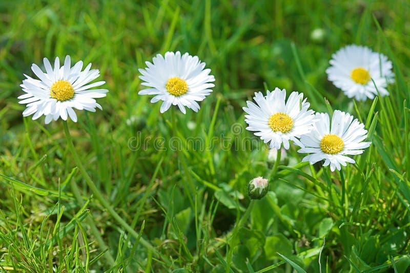 Prado con los flores blancos fotografía de archivo libre de regalías