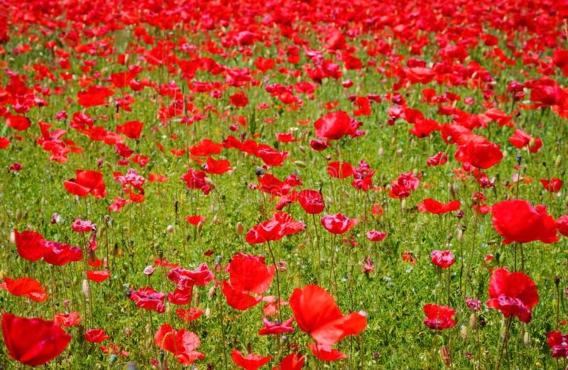 Prado da flor de papoilas vermelhas fotografia de stock royalty free