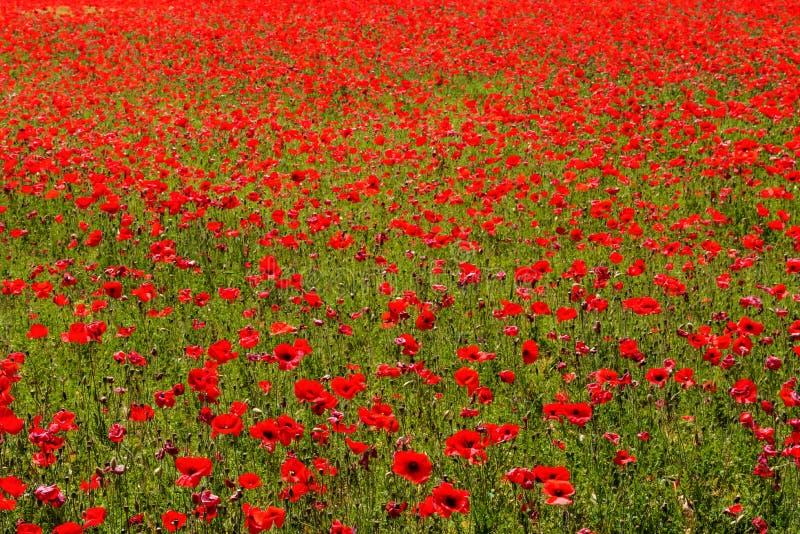 Prado da flor de papoilas vermelhas foto de stock royalty free
