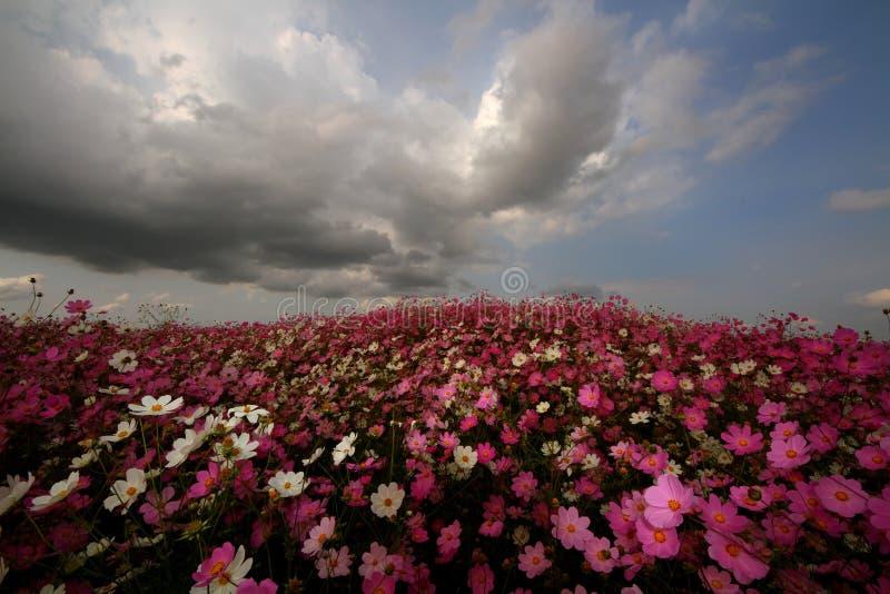 Prado da flor do cosmos fotos de stock royalty free