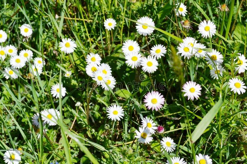 Prado da mola com as flores brancas da margarida em um dia bonito brilhante ensolarado imagens de stock