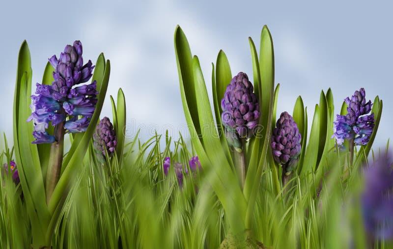 Prado da mola dos Hyacinths fotografia de stock royalty free