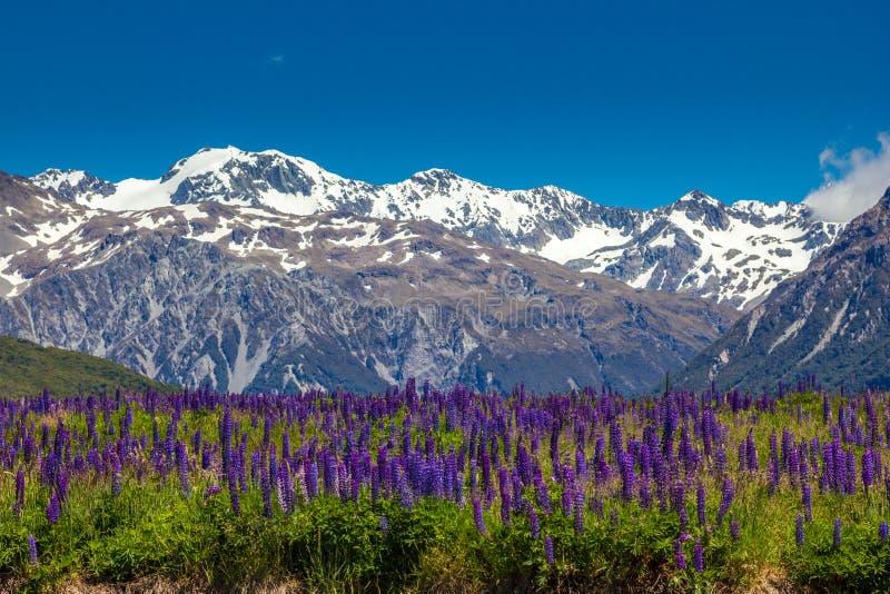 Prado da montanha com tremoceiros roxos fotografia de stock