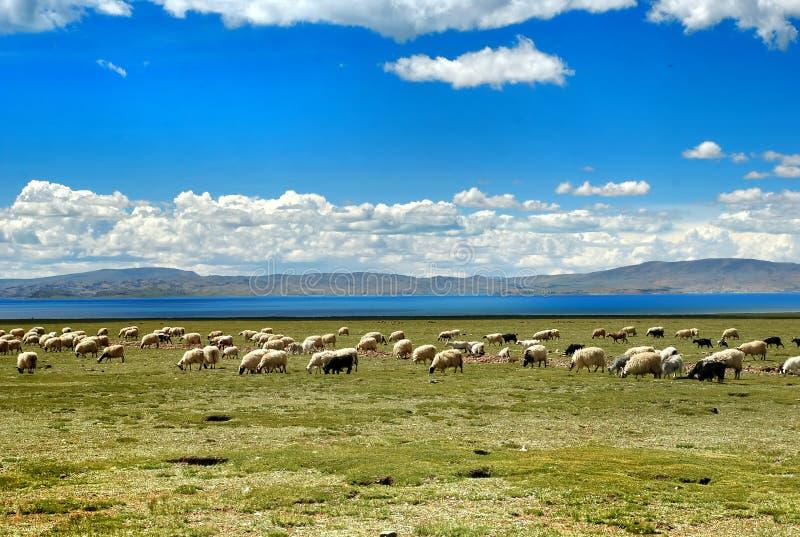 Prado de Altiplano fotografia de stock royalty free