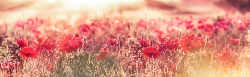 Prado de amapolas a finales de la tarde - última hora de la tarde, amapolas rojas salvajes iluminadas por los rayos del sol ponie foto de archivo