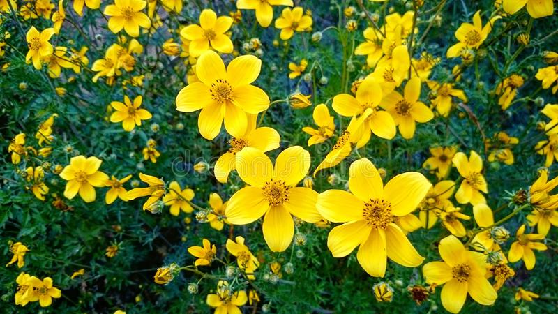 Prado de flores amarillas royalty free stock photography