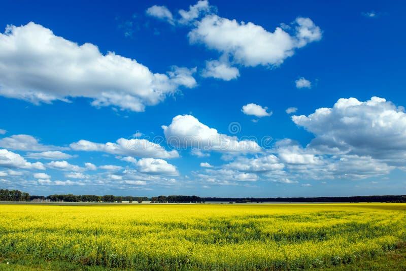 Prado de florescência no dia ensolarado Paisagem do verão com um grande campo de flores amarelas, do céu azul e das árvores na di imagens de stock royalty free