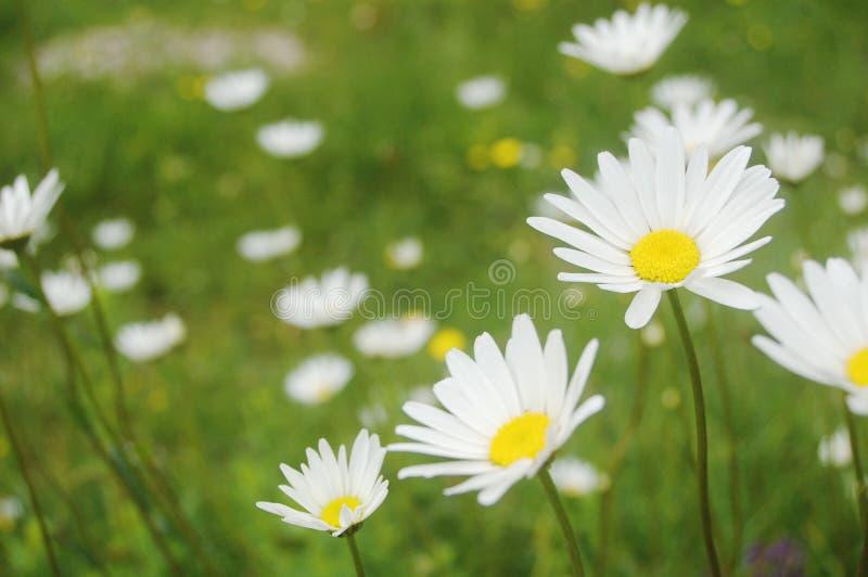 Prado de la flor foto de archivo libre de regalías