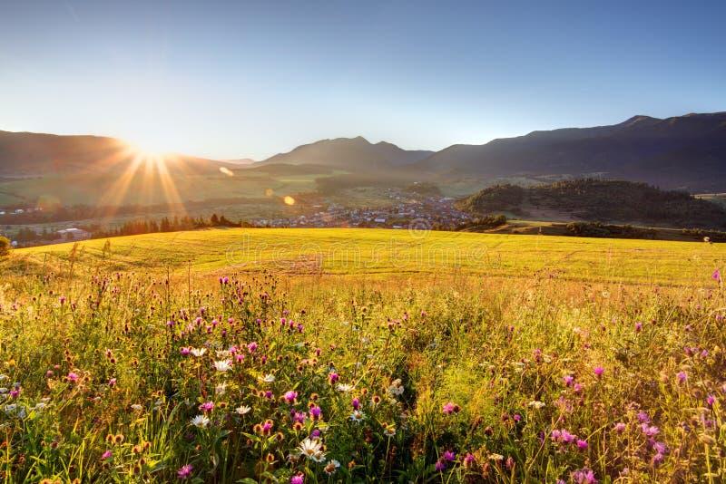 Prado de la flor salvaje en montaña en la salida del sol imágenes de archivo libres de regalías