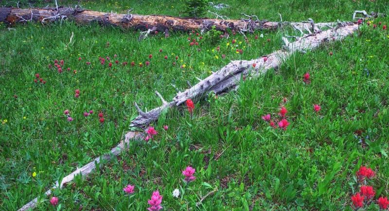 Prado de la montaña con los Wildflowers del verano imagen de archivo