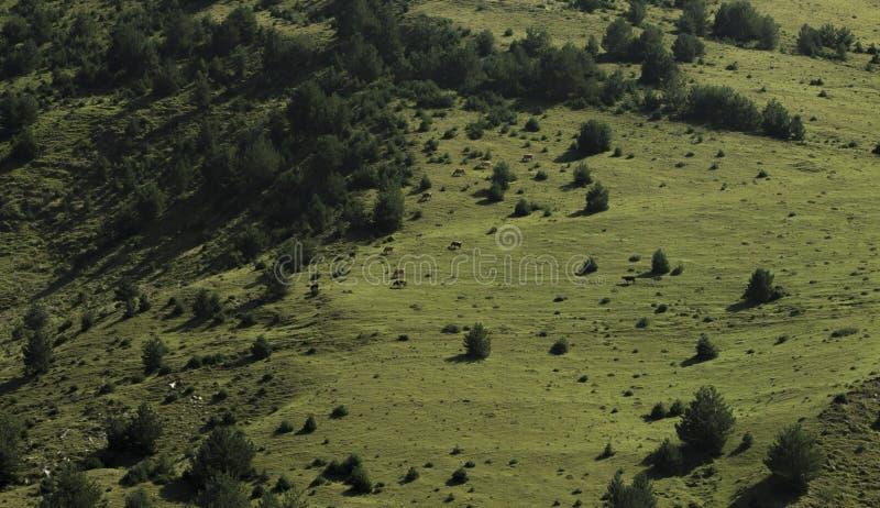Prado de la montaña en el cual las vacas pastan imágenes de archivo libres de regalías