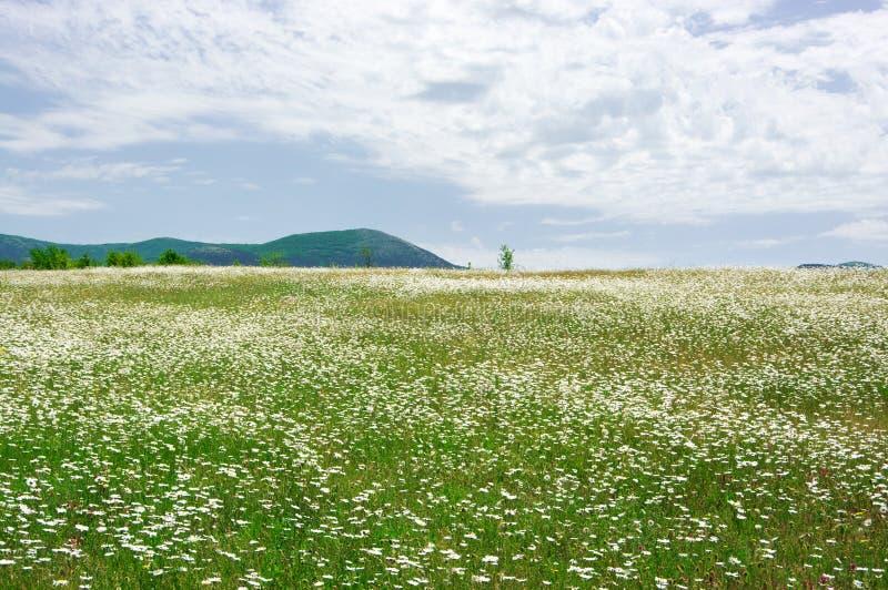 Prado de la primavera con las manzanillas florecientes imagen de archivo