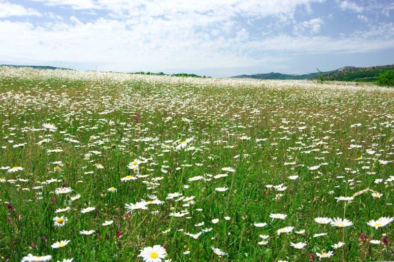 Prado de la primavera con las manzanillas florecientes fotografía de archivo