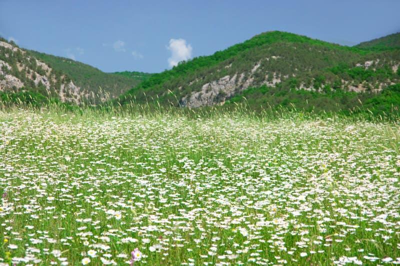 Prado de la primavera con las manzanillas florecientes fotografía de archivo libre de regalías