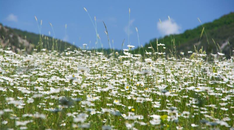 Prado de la primavera con las manzanillas florecientes fotos de archivo