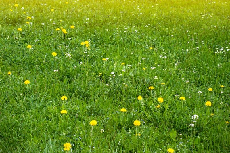 Prado de la primavera con los dientes de león y otras flores de la primavera Vista panorámica de prados verdes frescos hermosos y foto de archivo
