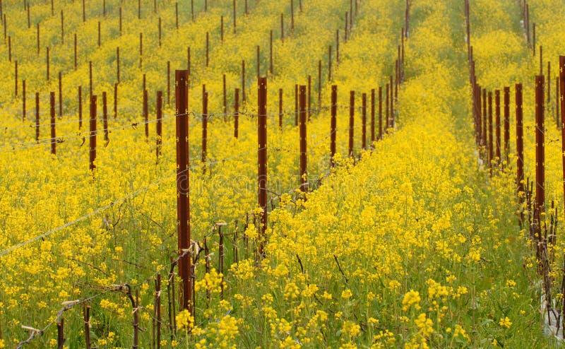 Prado de las plantas florecientes de la mostaza en California fotos de archivo libres de regalías