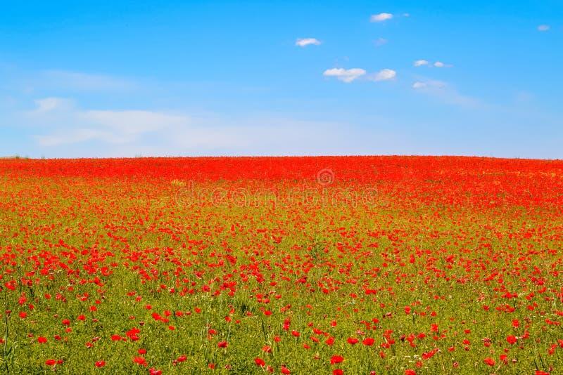 Prado de papoilas vermelhas contra o céu azul imagens de stock royalty free