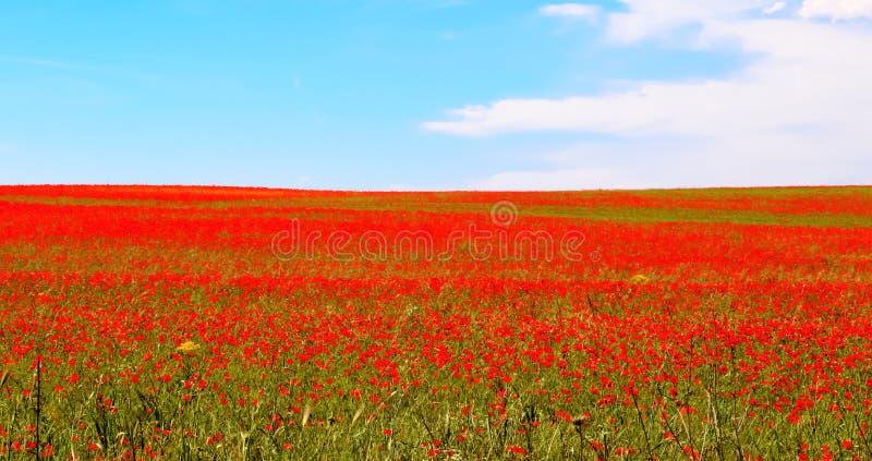 Prado de papoilas vermelhas contra o céu azul foto de stock