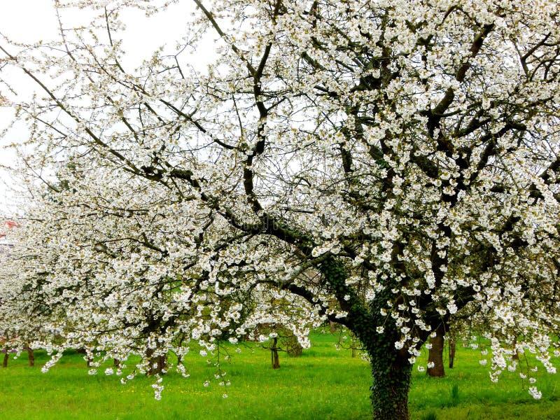 Prado del árbol frutal con los cerezos florecientes imagen de archivo libre de regalías