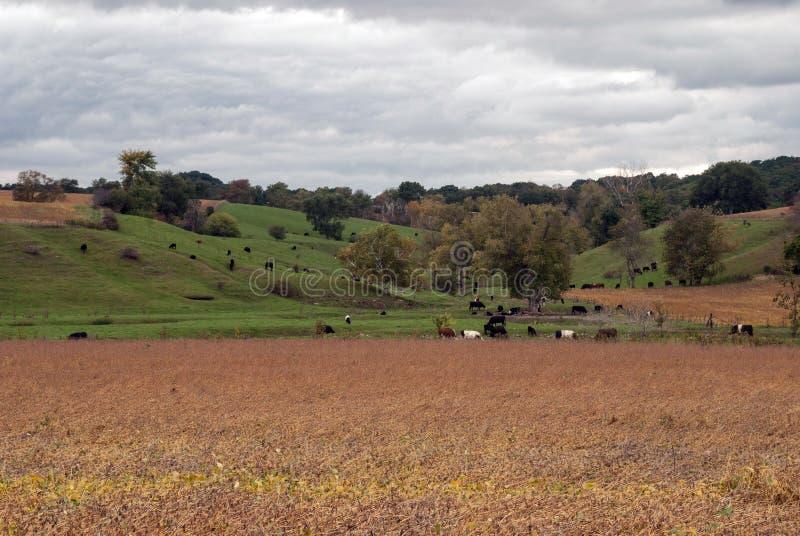 Prado del otoño con el pasto de las vacas, Monroe County, Wisconsin, los E.E.U.U. imágenes de archivo libres de regalías