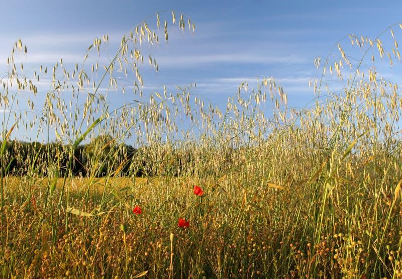Download Prado del verano foto de archivo. Imagen de azul, crecimiento - 177190