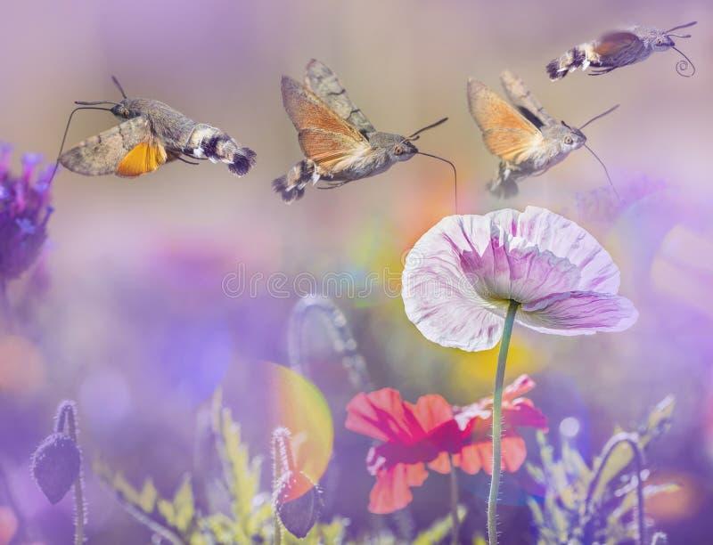 Prado del verano con las amapolas y Hawk Moths Hummingbirds rojos imagenes de archivo