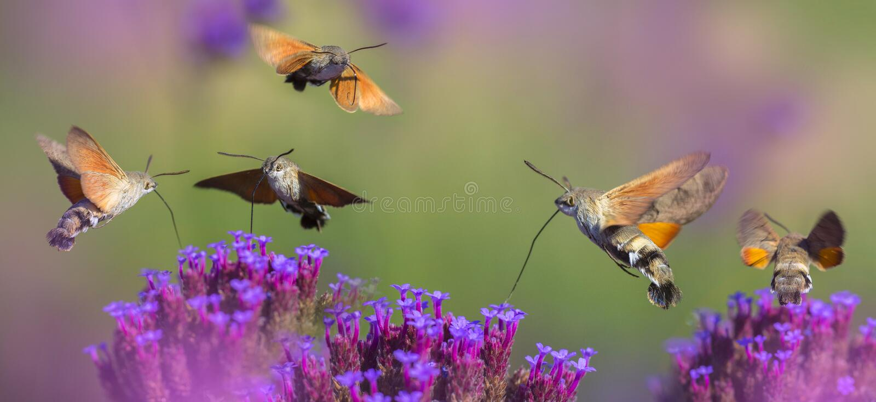 Prado del verano con las amapolas y Hawk Moths Hummingbirds rojos imagen de archivo