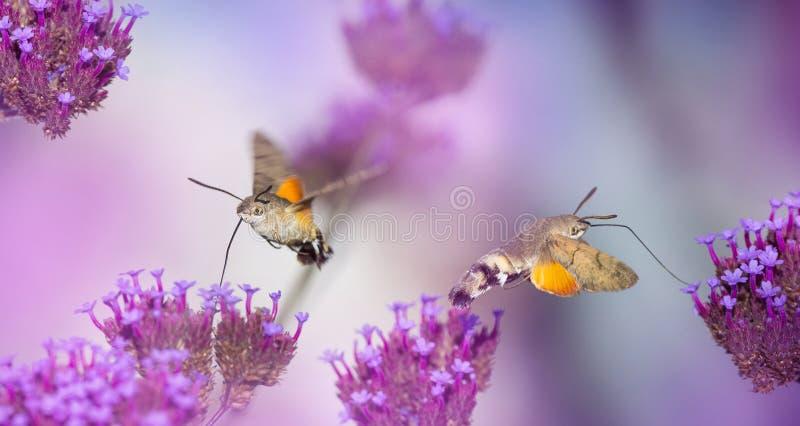 Prado del verano con las amapolas y Hawk Moths Hummingbirds rojos foto de archivo libre de regalías