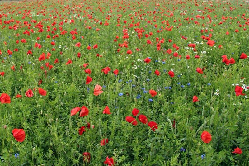 Prado del Wildflower con las amapolas, los acianos y las margaritas fotografía de archivo libre de regalías