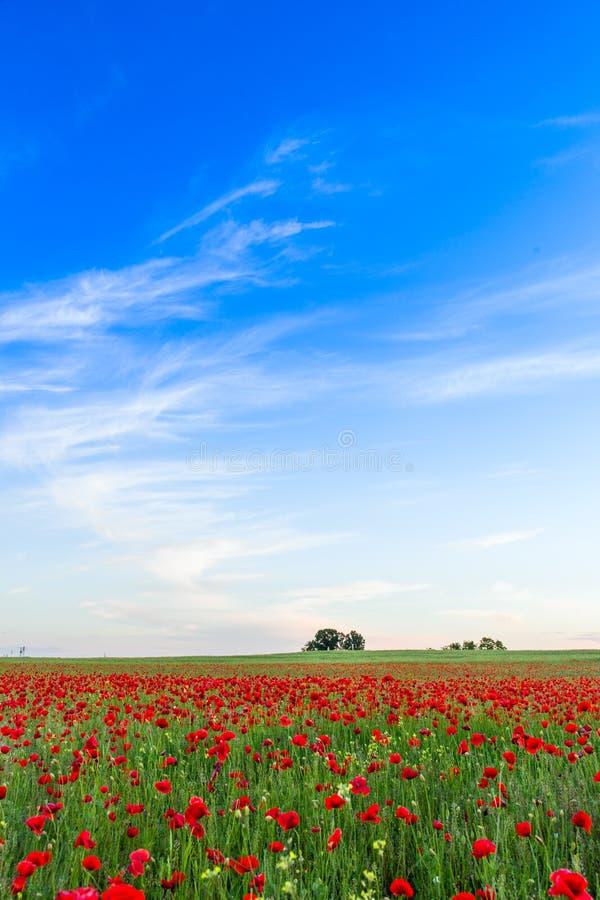 Prado do campo das papoilas no verão foto de stock royalty free
