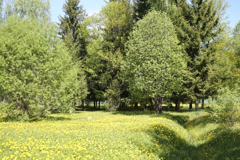 Prado do dente-de-leão com verão das árvores imagens de stock royalty free