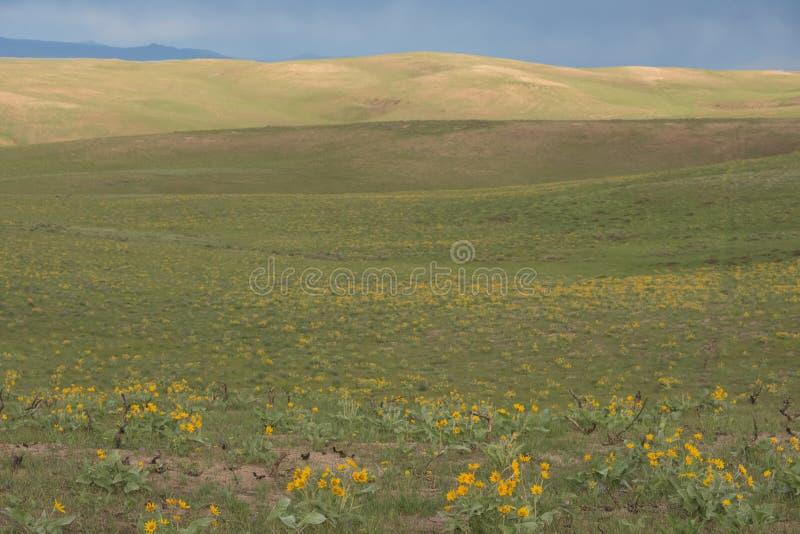Prado do sagittata do Balsamorhiza de Arrowleaf Balsamroot de Wildflowers amarelos fotos de stock