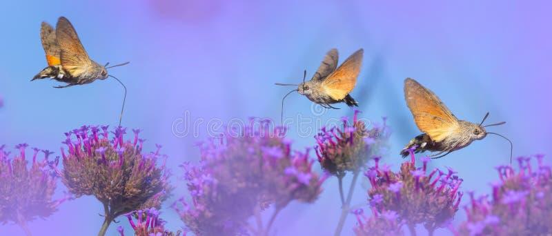 Prado do verão com papoilas e Hawk Moths Hummingbirds vermelhos imagens de stock