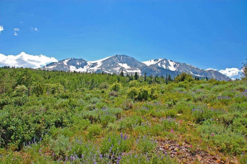 Prado do wildflower da montanha foto de stock royalty free